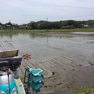 有機圃場の田植をしました。